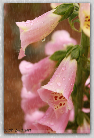 Hello Foxglove in the Rain…