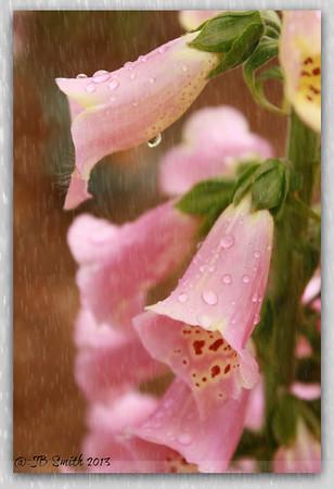 Hello Foxglove in the Rain…