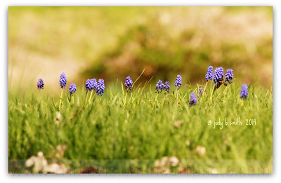 grape+hyacinth+landscape+ipad+-3552917883-O