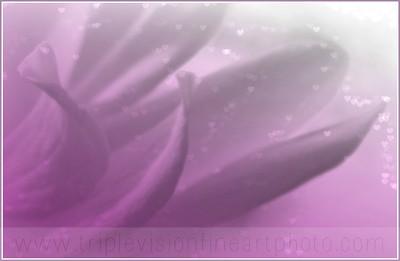 IMG_6339+magnolia+love+petals+-3552973689-O