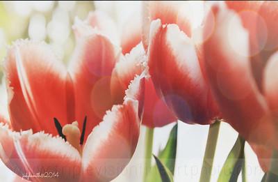 IMG_5326+tulips+bokeh+_2+ipad-3552977352-O