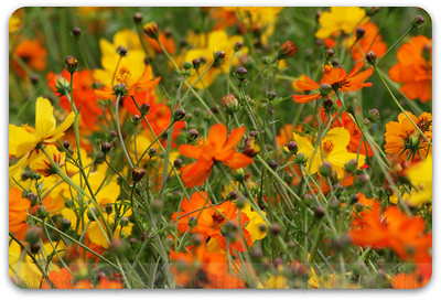 IMG_3956 orange yellow blossom