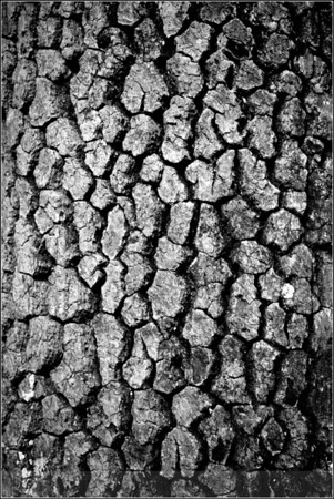 Infraed Tupelo Bark