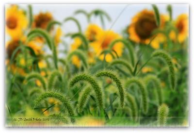 cattail+sunflower-3535051320-O