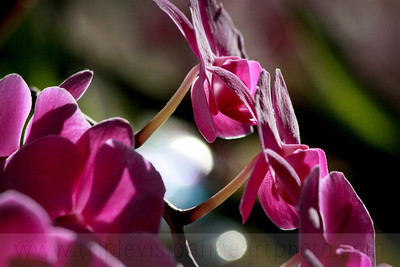 rockstar orchid IMG_6304