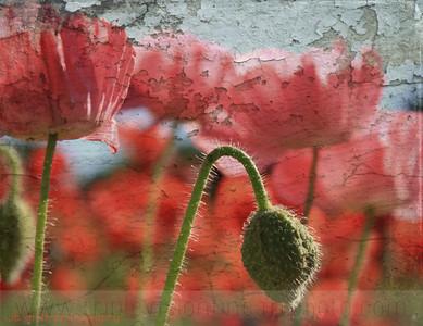 poppies & sunshine IMG_2234