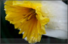 Drenched Daffodil