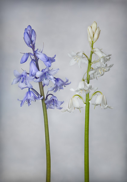 Bluebell and Whitebell