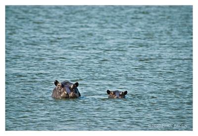 Hippo Mom & Baby