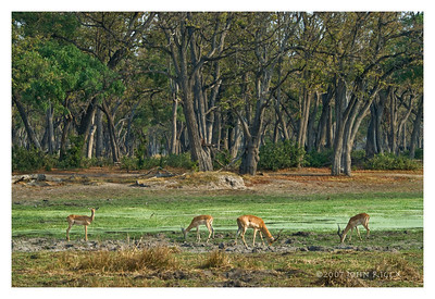 Impala Near Forest