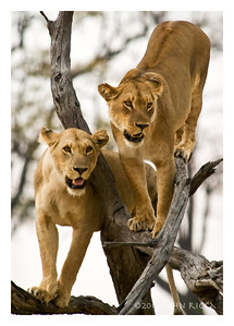 Lion Sisters in Tree