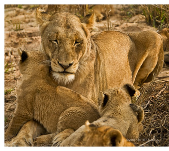 Lion Mom & Cubs