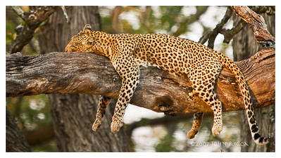 Leopard in Tree 1