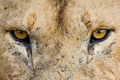 An adult male lion (Panthera leo) stares intently. Close-up image taken in the Masai Mara region of Kenya, Africa.