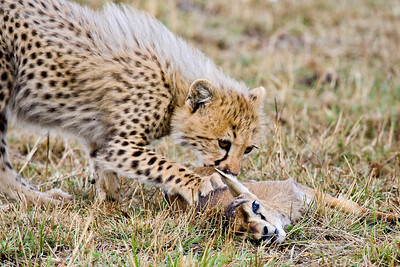 """Young Cheetah Learning What Cheetahs Do"""