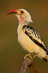 """""""Red-billed Hornbill""""  One of the many species that I had never before seen. Early light.  Samburu National Reserve, Kenya.  Samburu National Reserve, Kenya."""