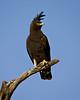 """""""Long-Crested Eagle and Blue Sky""""<br /> <br /> Samburu National Reserve, Kenya."""