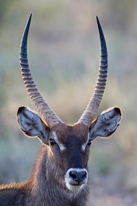 """Waterbuck Portrait II""  Samburu National Reserve, Kenya."