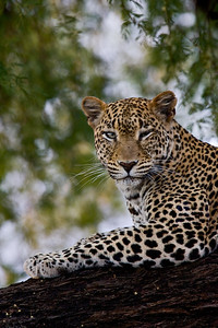 """""""Winking Samburu Leopard""""  We found this leopard (Panthera pardus) one evening, just as we were about to head back to camp. The nice thing was that we were just about on eye level with her, and then she winked at us! Taken in Samburu National Reserve, Kenya, Africa"""