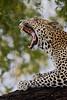 """Yawning Leopard""<br /> <br /> Samburu National Reserve, Kenya."