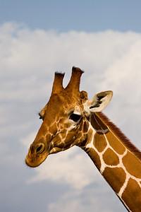 """""""Reticulated Giraffe Head Shot""""  Samburu National Reserve, Kenya."""
