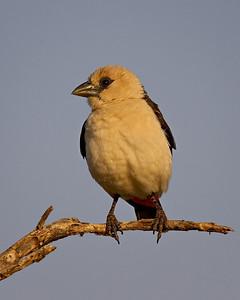 """""""White-headed Buffalo Weaver II""""  Samburu National Reserve, Kenya."""