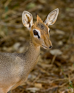 """""""Dik Dik""""  Samburu National Reserve, Kenya."""