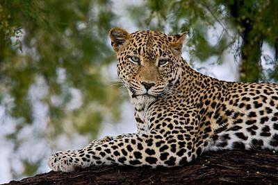 """Staring Leopard""  Samburu National Reserve, Kenya."