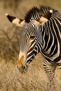 """""""Grevy's Zebra""""  Samburu National Reserve, Kenya."""
