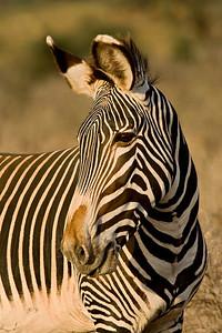 """""""Grevy's Zebra Portrait""""  Samburu National Reserve, Kenya."""