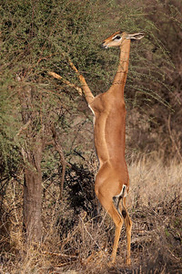 """""""The Graceful Gerenuk""""  You often see these beautiful animals up on their hind legs just like this, feeding on the foliage.  Samburu National Reserve, Kenya.  Samburu National Reserve, Kenya"""