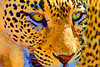 """Leopard Serigraph""<br /> <br /> A leopard becomes digital art through the magic of the Topaz Simplify filter for Photoshop."