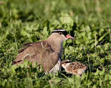 """Can I Get Under There, Too?""  A crowned plover (Vanellus coronatus) parent and its chick. One chick had already taken cover under the parent's body, and the other one was about to do so. The bird is also known as a crowned lapwing. Taken in Addo Elephant National Park, South Africa, Africa."