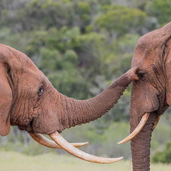 Two male adult African elephant (Loxodonta africana) in relaxed friendly interaction. Taken in Addo Elephant National Park, South Africa, Africa. The species is listed as vulnerable on the IUCN Red List of Threatened Species at iucnredlist.org.