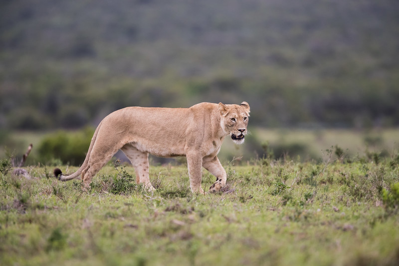 An African lioness (Panthera leo). Taken in Addo Elephant National Park, South Africa, Africa.