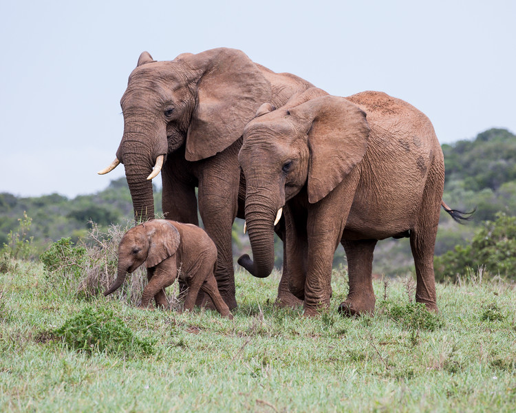 An African elephant (Loxodonta africana) with two adults. Taken in Addo Elephant National Park, South Africa, Africa. The species is listed as vulnerable on the IUCN Red List of Threatened Species at iucnredlist.org.