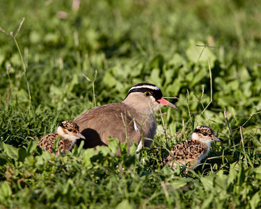 """On An Outing With Mom (Or Dad)""  A crowned plover (Vanellus coronatus) parent and its chicks. The bird is also known as a crowned lapwing. Taken in Addo Elephant National Park, South Africa, Africa."