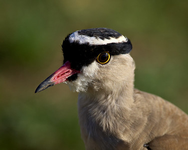 """Crowned Plover""  Also known as a crowned lapwing, this photo appeared in the January-February 2010 issue of Audubon Magazine. It was part of a spread entitled ""Caught In the Act."""