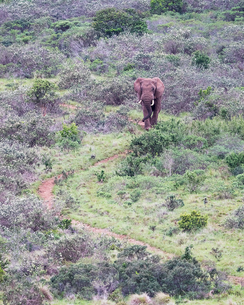 An African elephant (Loxodonta africana) makes its way down an S-curve-shaped path. Taken in Addo Elephant National Park, South Africa, Africa. The species is listed as vulnerable on the IUCN Red List of Threatened Species at iucnredlist.org.