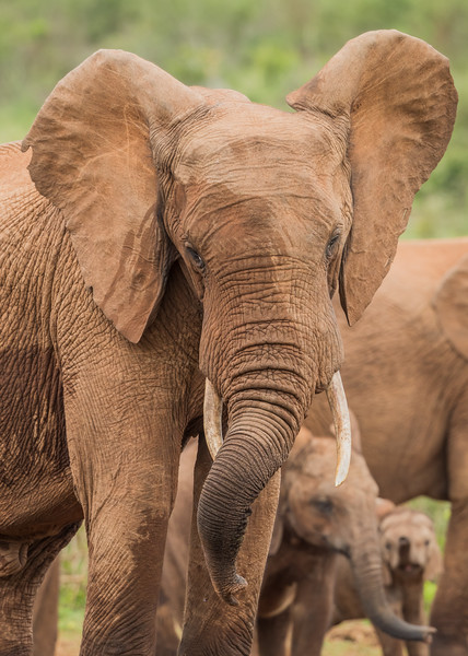 An African elephant (Loxodonta africana) twists its trunk as other members of the herd contort theirs as well. Taken in Addo Elephant National Park, South Africa, Africa.