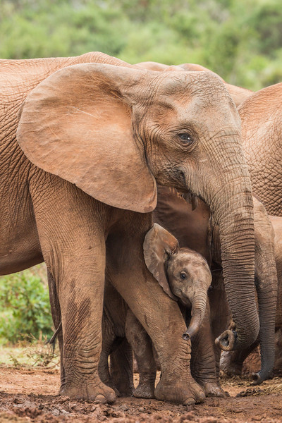 A baby African elephant (Loxodonta africana) rubs its head up against its mother's leg. Taken in Addo Elephant National Park, South Africa, Africa.