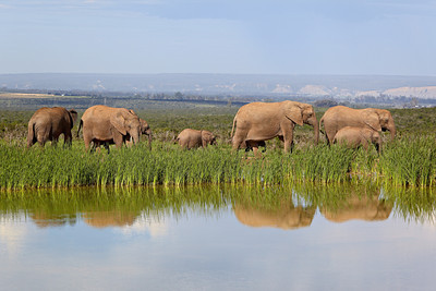 """Elephants Reflected""  A herd of African elephants (Loxodonta africana) reflected in a waterhole at Addo Elephant National Park, South Africa, Africa. The species is listed as vulnerable on the IUCN Red List of Threatened Species at iucnredlist.org."