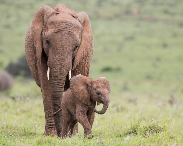 A very young baby African elephant (Loxodonta africana) walks in front of its mother. Taken in Addo Elephant National Park, South Africa, Africa. The species is listed as vulnerable on the IUCN Red List of Threatened Species at iucnredlist.org.