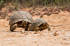 A larger male leopard tortoise (Geochelone pardalis) in pursuit of  the smaller female. Taken in Addo Elephant National Park, South Africa, Africa.