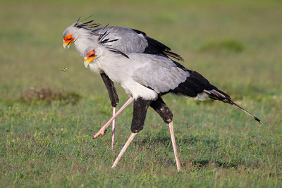 """Stomping in Tandem""  A pair of secretarybirds (Sagittarius serpentarius) cooperatively hunt for prey in a field. Taken in Addo Elephant National Park, South Africa, Africa."