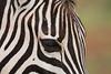 Detail of a Chapman's zebra or plains zebra (Equus burchelli antiquorum). Taken in Addo Elephant National Park, South Africa, Africa.