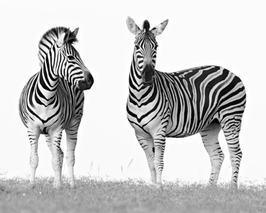 """Pure Zebras""  I liked the purity of this with the white sky and zebras in B&W. They are plains zebra (Equus quagga). Taken in Addo Elephant National Park, South Africa, Africa."