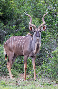 """""""How Does the Kudu's Horn Known When to Curl?"""""""
