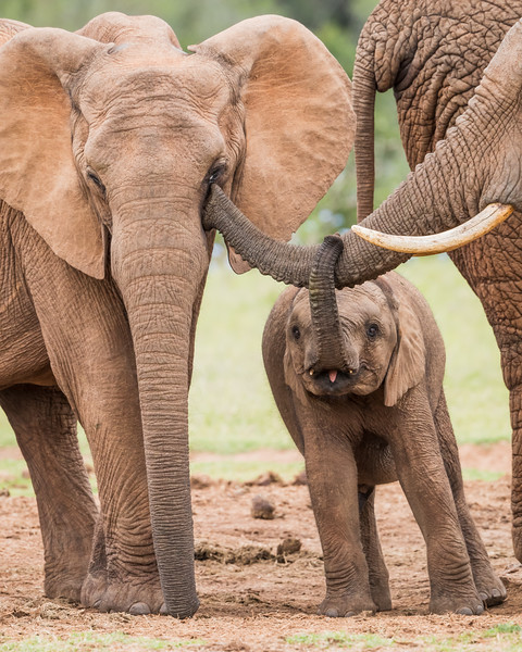 A baby African elephant (Loxodonta africana) wants to help as its mother grooms the eye of another member of the herd. Taken in Addo Elephant National Park, South Africa, Africa.