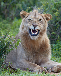 """Comical Character""  An adult male lion (Panthera leo) grimaces after yawning. Taken at Addo Elephant National Park, South Africa, Africa."